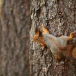 Squirrel in autumn forest — Stock Photo