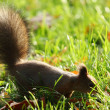 Stock Photo: Squirrel in the autumn forest