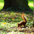 Squirrel in the autumn forest - Stock Photo