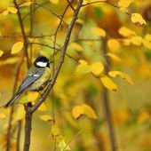 Chickadee bird — Stock Photo