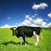 Cow landscape — Stock Photo