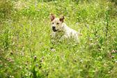 Perro juega en hierba — Foto de Stock