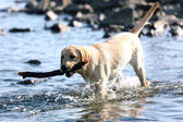 Dog play in water — Stock Photo