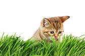 Cat behind grass — Stock Photo
