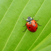 Ladybug on leaf — Stock Photo