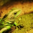 Lizard — Stock Photo