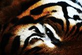 Tiger close up — Stock Photo