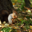 Squirrel in autumn forest — Stock Photo #7191658
