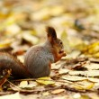 Squirrel in autumn forest — Stock Photo #7191664