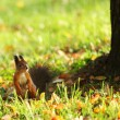 Squirrel in the autumn forest — Stock Photo #7193360