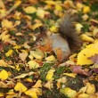 Squirrel in the autumn forest — Stockfoto