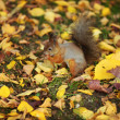 Squirrel in the autumn forest — Lizenzfreies Foto