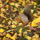 Squirrel in the autumn forest — Stock fotografie