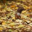 Squirrel in autumn forest — Stock Photo #7293970