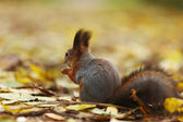 Squirrel in autumn forest — Stock fotografie