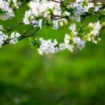 White flowers — Stock Photo #7356745