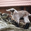 Small Goat — Stock Photo