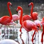 Flamingo — Stock Photo #7518901