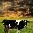 Cow sunset — Stock Photo