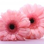 Pink Gerberas — Stock Photo