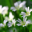 White spring flowers - Foto de Stock