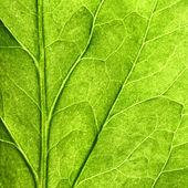 Folha verde — Foto Stock