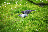 Pigeon grass — Stock Photo