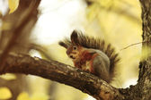 Squirrel in autumn forest — Stock Photo