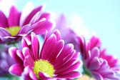 розовая хризантема — Стоковое фото