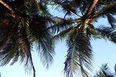 Mavi gökyüzünde palmiye — Stok fotoğraf