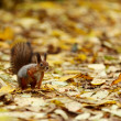 Squirrel in autumn forest — 图库照片