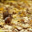 wiewiórka w jesień las — Zdjęcie stockowe