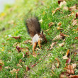 Squirrel in the autumn forest — Stockfoto #7907911