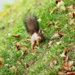 Squirrel in the autumn forest — ストック写真 #7907911