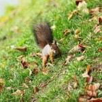 wiewiórka w lesie jesienią — Zdjęcie stockowe