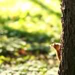 esquilo na floresta de outono — Foto Stock