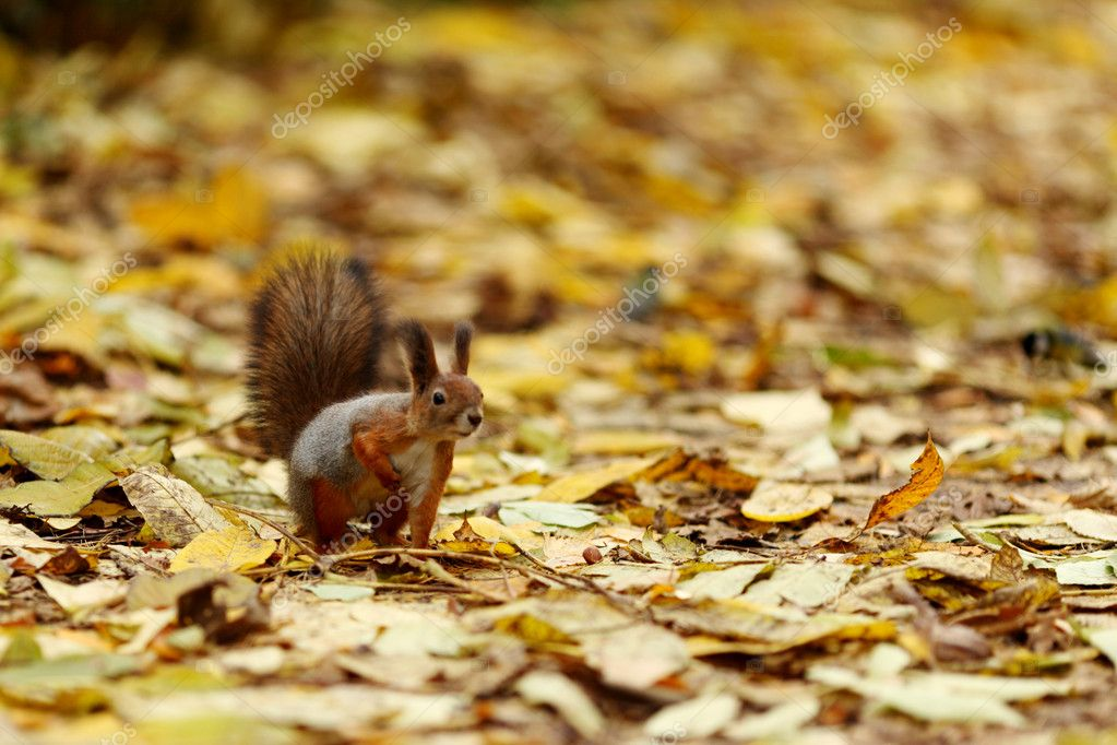 Squirrel in autumn forest macro close up — Stock Photo #7907396