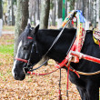 Black horse in multicolored harness — Stock Photo