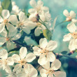 Stock Photo: Flowering cherry