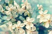 Flowering cherry — Stock Photo