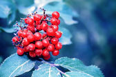 Red berries — Stock fotografie