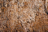 Giant sequoia bark — Stock Photo