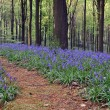 Bluebells - Stock Photo