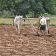 Bullocks plowing — Stock Photo #7257343
