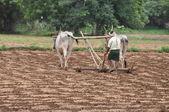 Bullocks plowing — Stock Photo