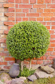 Decorative tree with round leaves. — Stock Photo