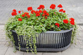 Red flowers growing in modernistic pot. — Stock Photo