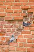 Pair of pigeons sitting on ancient red brick wall. — Stock Photo