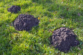 Moles dig mole-hills in meadow. Parasitic animals. — Stock Photo