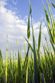 Early corn barley in agricultural field. — Stock Photo
